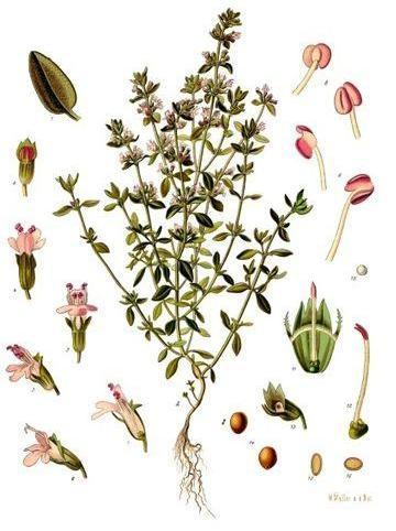 thym-bio-citron-tisane-infusion-huile-essentielle-frais-sec-antiseptique-naturel-plante-medicinale-vertus-miel-antioxydant-8